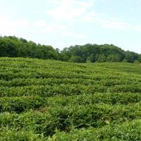 Чайное поле (Краснодарский край)