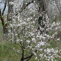 Деревья 1 (р. Дагестан)