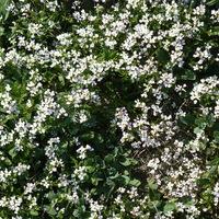 Цветы 1 (р. Дагестан)