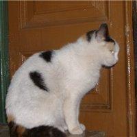 Кошка,стерелизована
